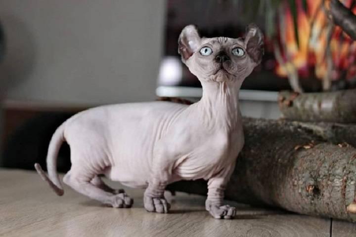 ᐉ кошка эльф: описание породы, содержание и уход - kcc-zoo.ru