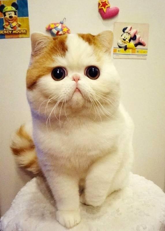 Как выглядит порода кошек с большими глазами, фото и названия