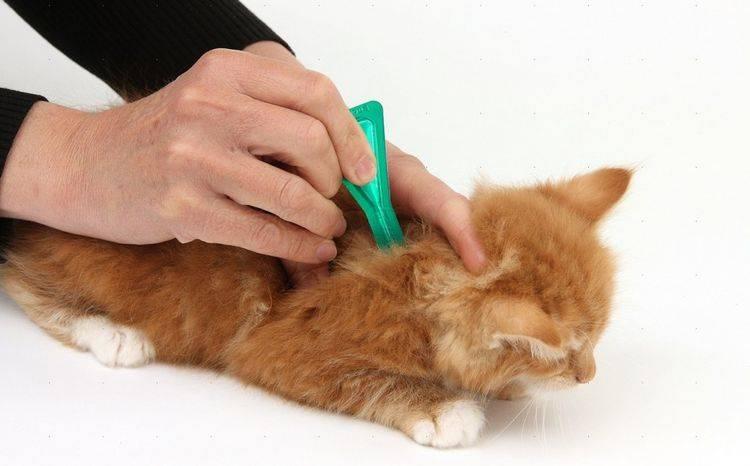 Как и чем проглистогонить кошку в домашних условиях