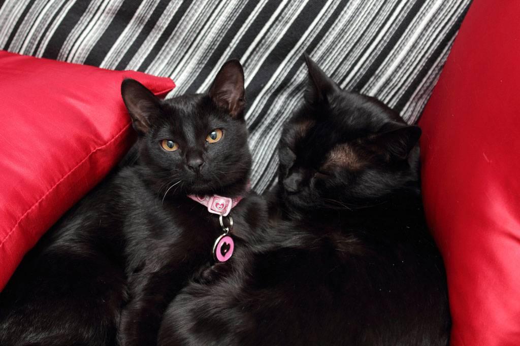 Бомбейская кошка. описание, особенности, цена и уход за бомбейской кошкой | животный мир
