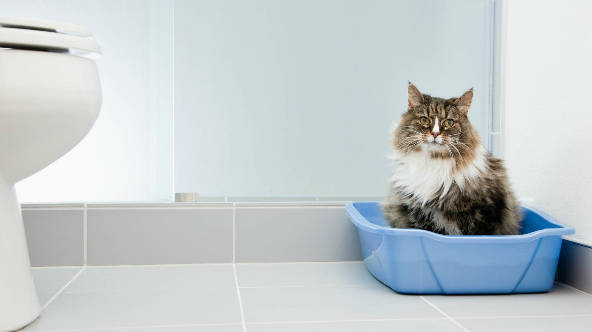 Кот писает кровью: причины, первая помощь, лечение кот писает кровью: причины, первая помощь, лечение