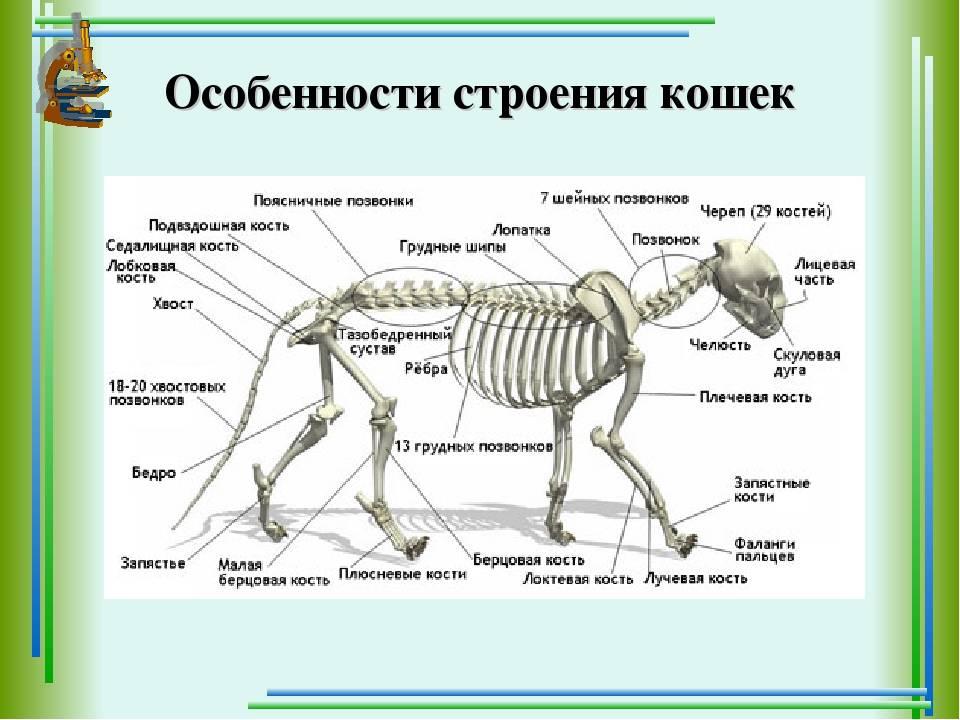Сколько костей у кошки (анатомия и физиология кошки) сколько костей у кошки (анатомия и физиология кошки)