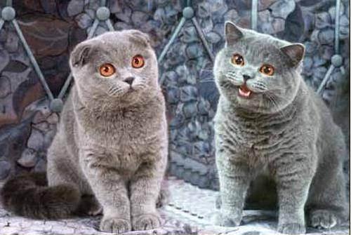 Клещ ушной у вислоухого кота.