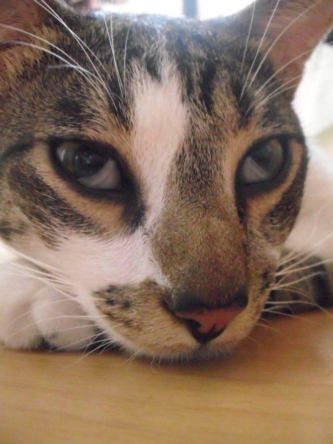 Болезни глаз у кошек симптомы и лечение фото третье веко: выкладываем во всех подробностях