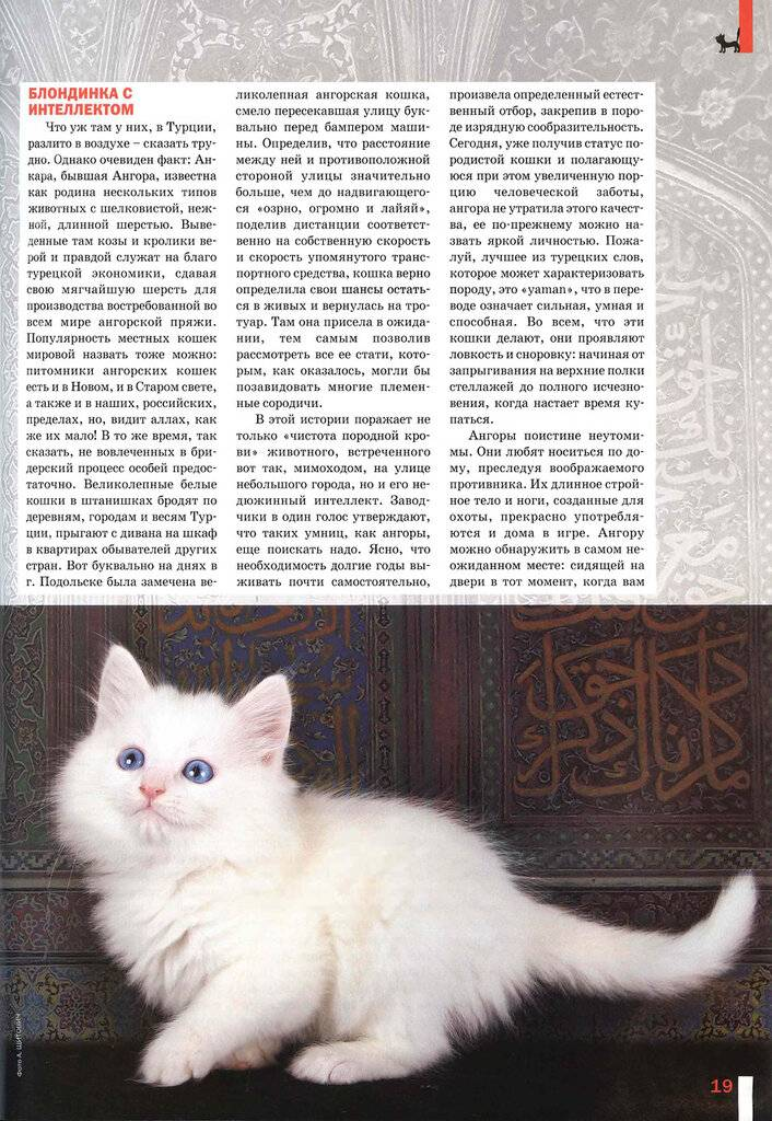 Турецкая ангора: описание, цена, уход