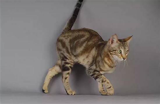 Кошка сококе, или соукок: описание породы с фото, темперамент животного, особенности содержания