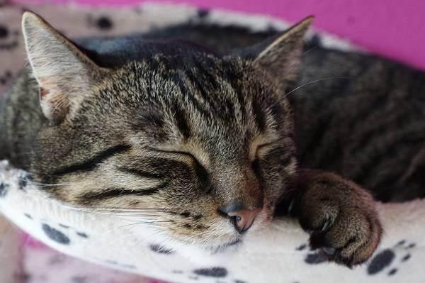 Почему кошка сопит когда спит. почему кот храпит во сне, нормально ли это? почему кошка храпит носом и сопит как человек когда спит но соплей нет