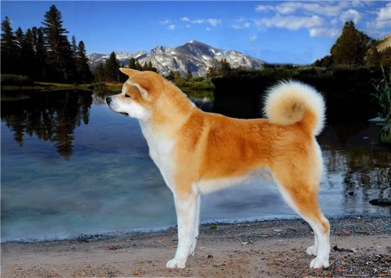 Отзывы владельцев акита-ину: как содержать породу в квартире, минусы собак, а также как правильно воспитать питомцев