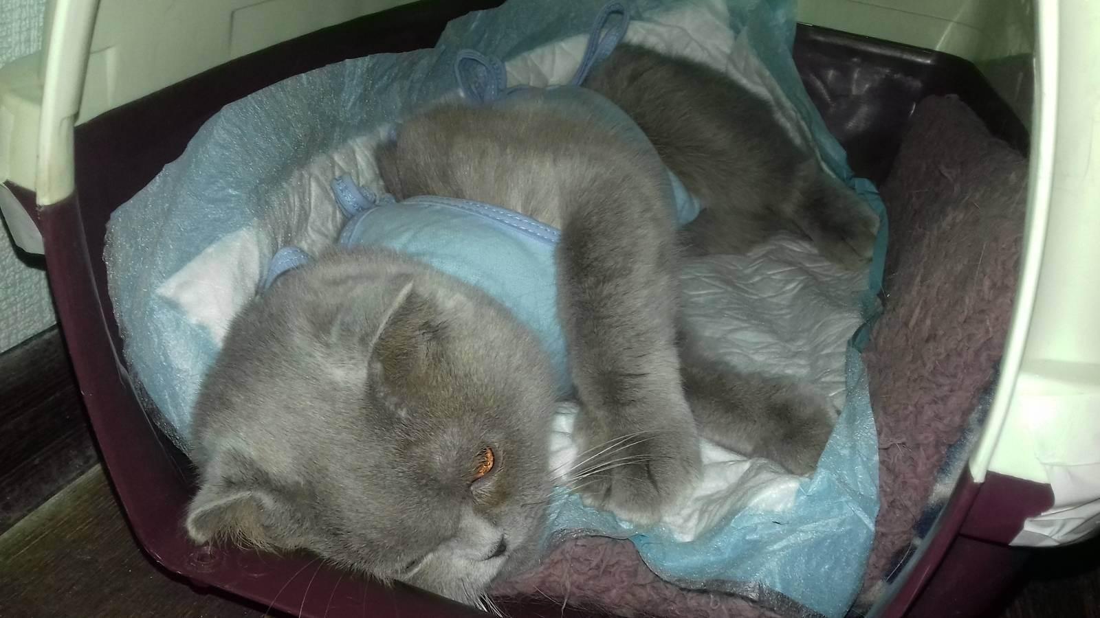 Кастрация и стерилизация вислоухих шотландцев: в каком возрасте кастрируют шотландских котов и стерилизуют кошек? риски