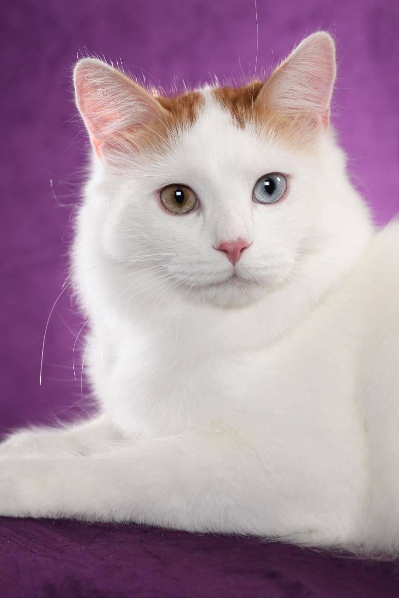 Белая кошка с разными глазами - какая порода