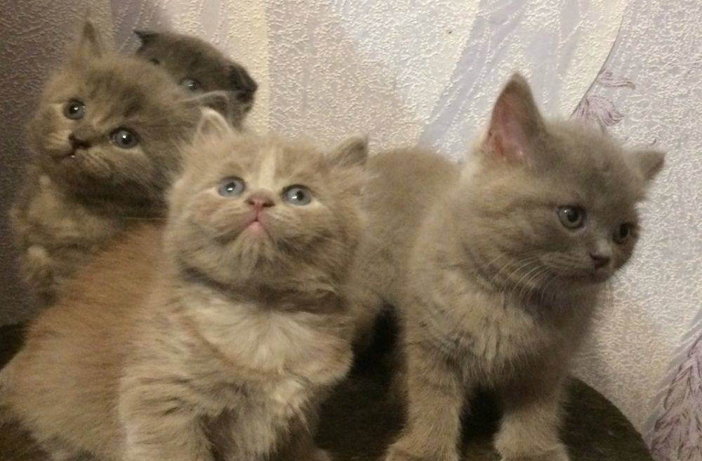 Шотландская прямоухая длинношерстная кошка (50 фото): шотландский вислоухий котенок, порода хайленд страйт