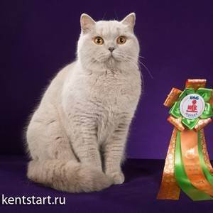 Все о черных британских котах: стандарты, генетика и особенности разведения английской породы