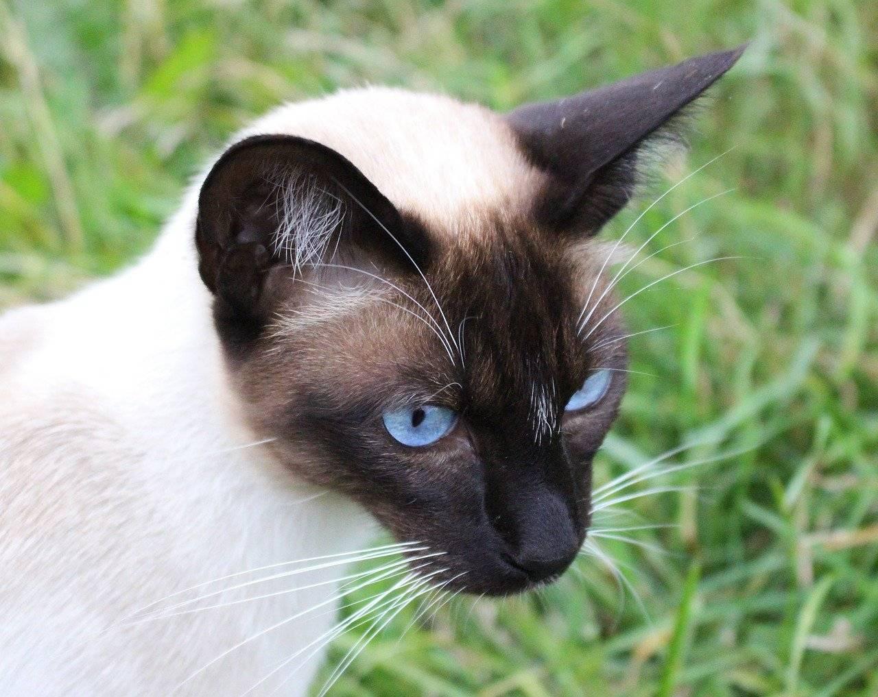 Гималайская кошка: 20 фото, описание внешнего вида и характера, цена котенка