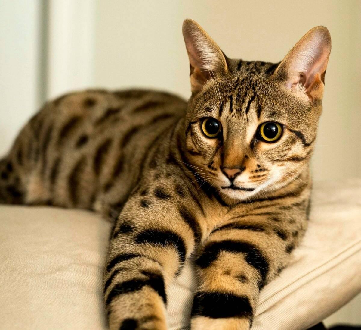 Топ – 7 гипоаллергеных пород кошек: фото с описанием