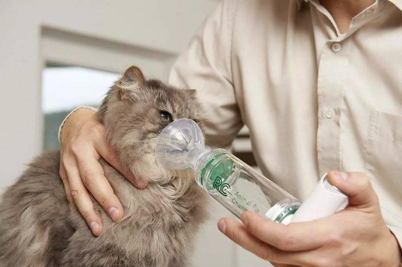 Кот кашляет с хрипом. почему кот кашляет и что при этом делать - новая медицина