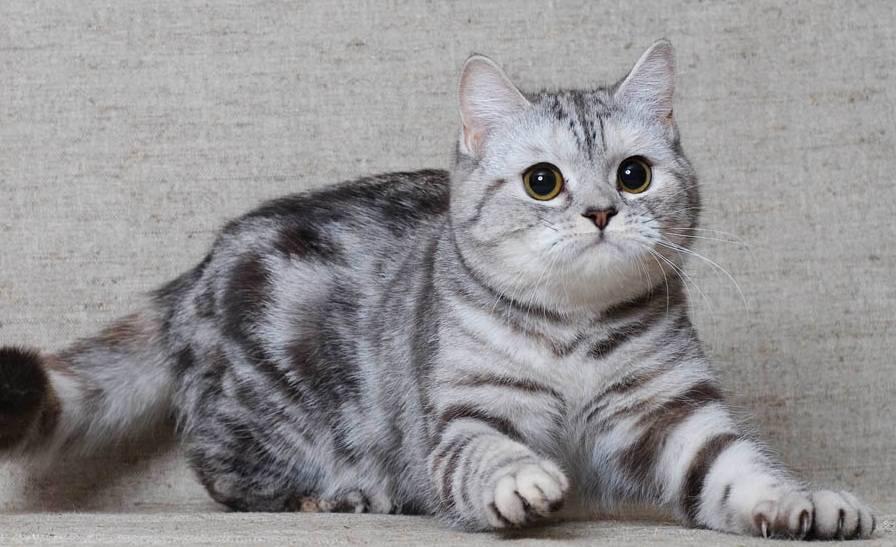 Кот вискас шотландской вислоухой породы