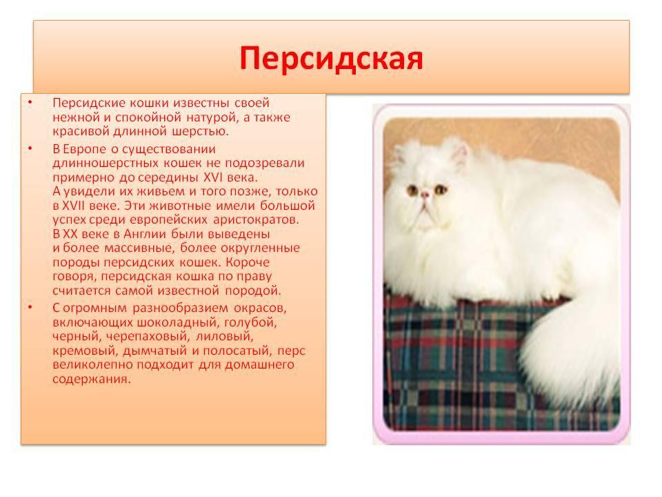 Корат (кошка): фото, описание породы, характер, цена и уход