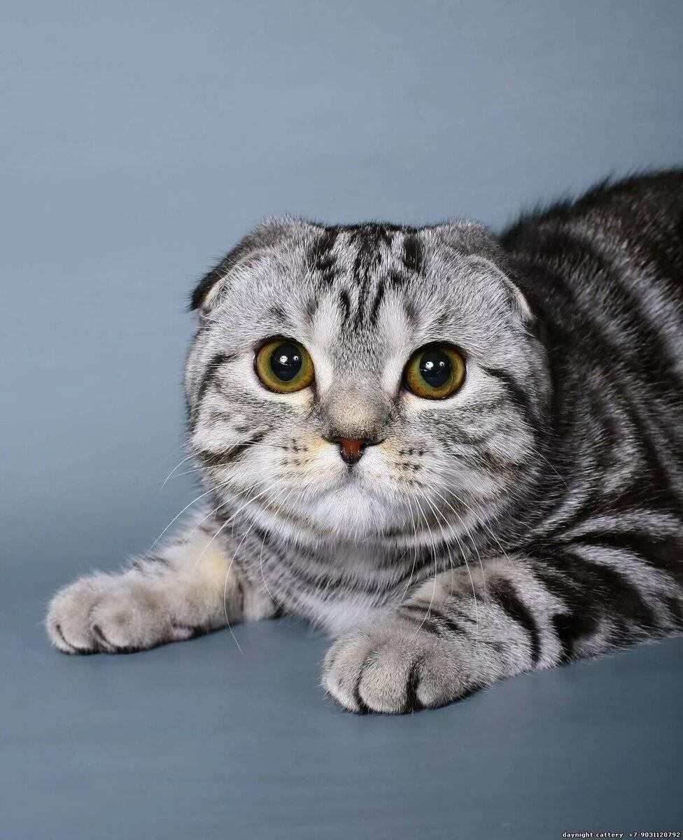 Британская вислоухая кошка