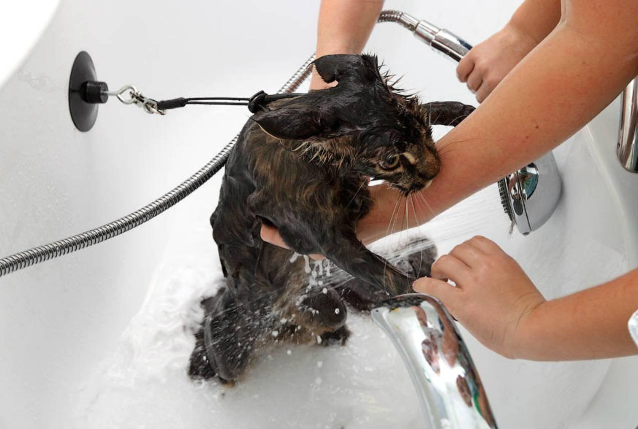 Как правильно мыть котенка первый раз, как часто и с какого возраста можно купать, как приучить к воде