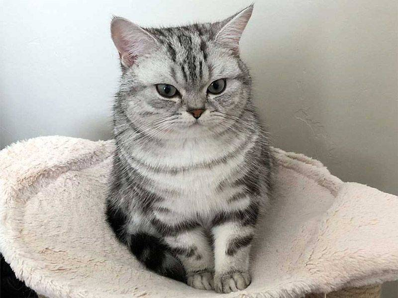 Порода кошек из рекламы «whiskas»