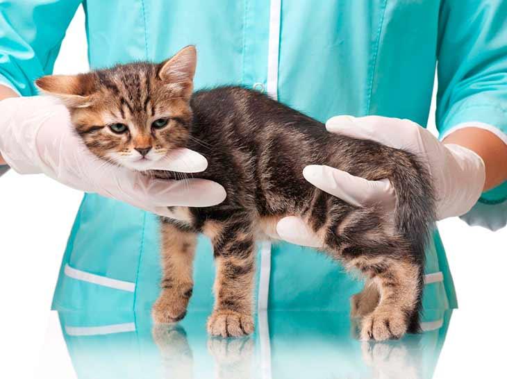 Простуда у кота: симптомы, чем лечить питомца