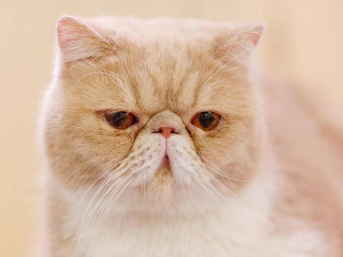 Какие породы кошек с приплюснутой мордой