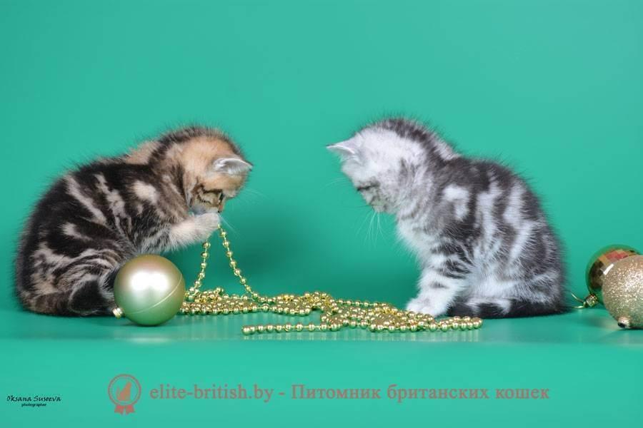 Выбор британского котенка и его стоимость
