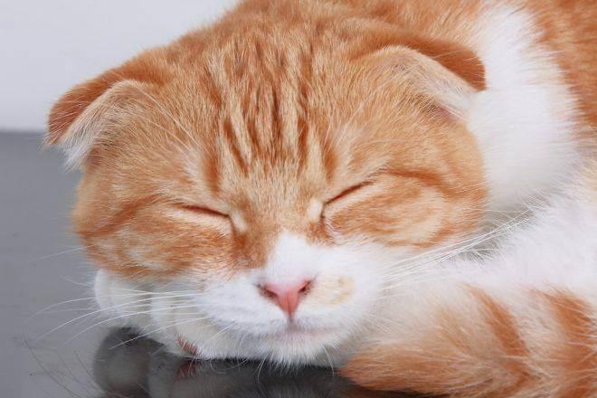 По какой причине слезятся глаза у кошек? по какой причине у шотландской или персидской кошки слезятся глаза?