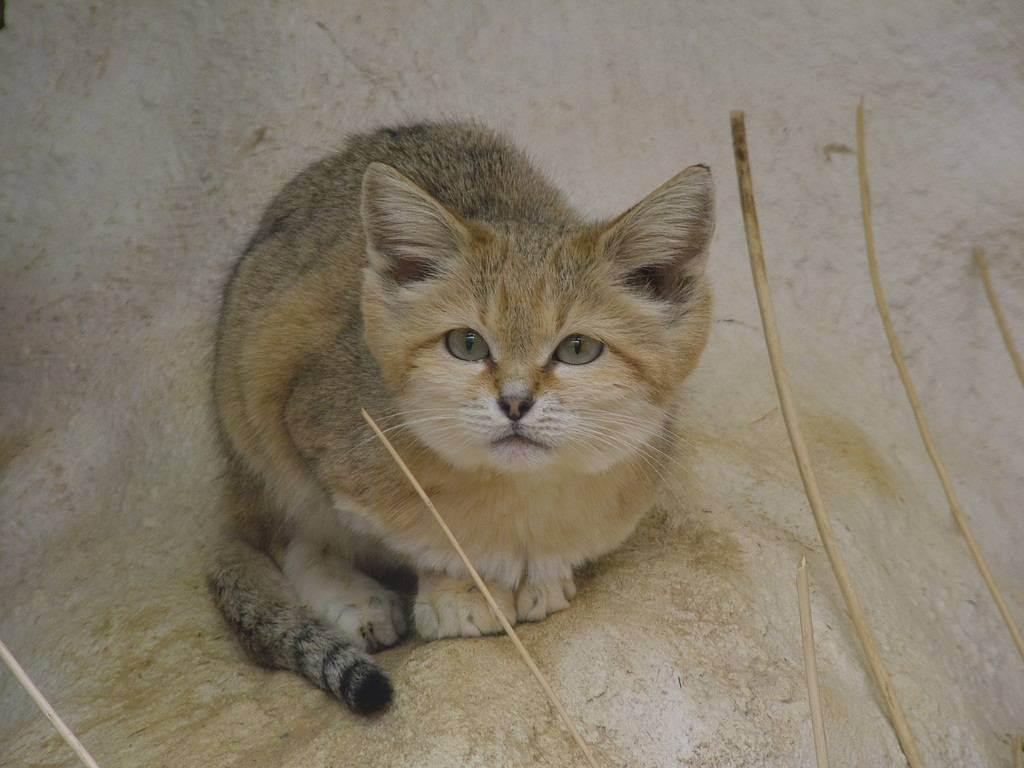 Китайская горная кошка википедия