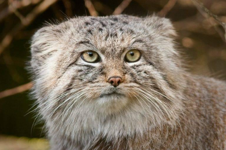 Дикий кот манул внешний вид и образ жизни