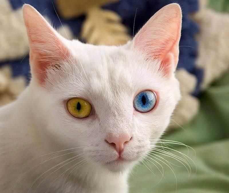 Как быть, если ваш кот глухой?