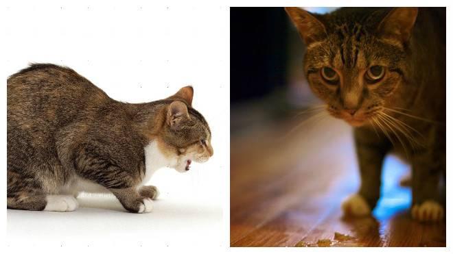 Рвота слизью у кошки, зеленой жидкостью, непереваренной пищей: причины и лечение