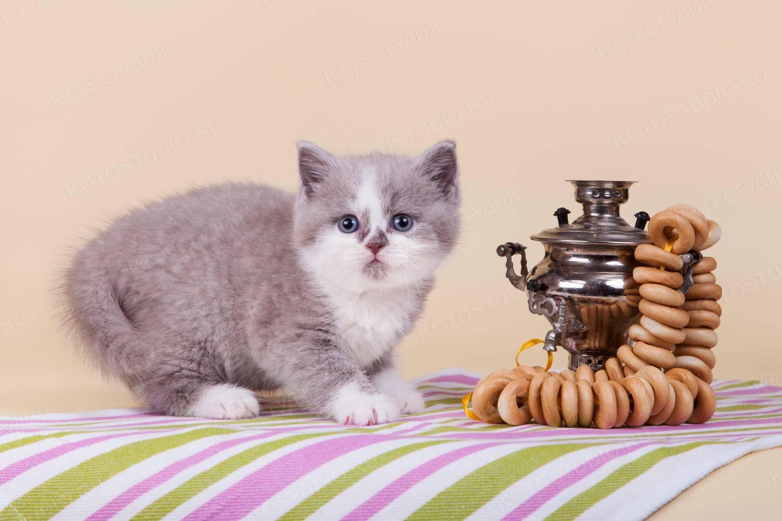 Британские котята уход и содержание