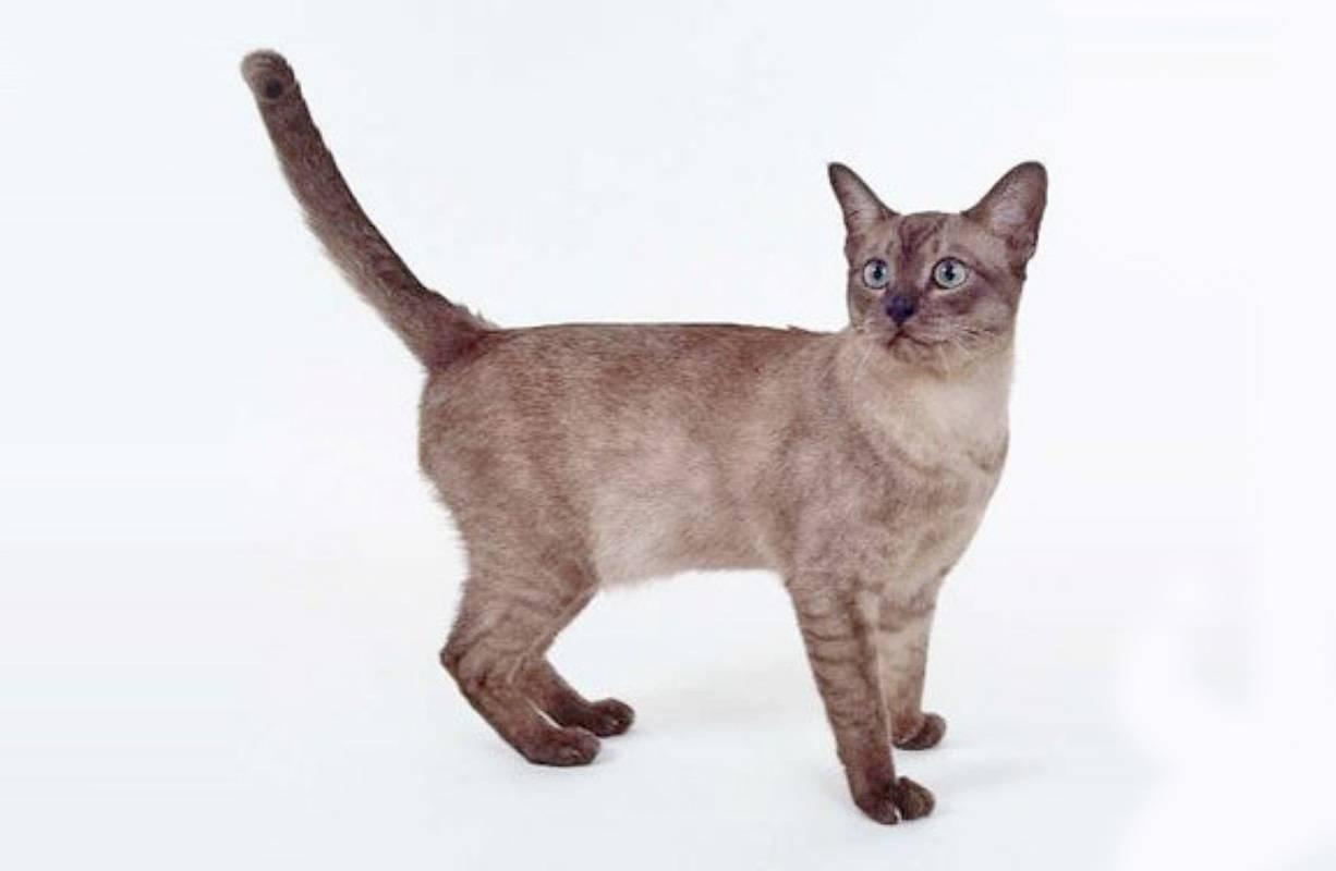 Азиатская табби кошка: подробное описание, фото, купить, видео, цена, содержание дома