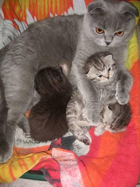 Сколько ходят кошки беременные шотландские вислоухие - срок вынашивания котят, подготовка к родам