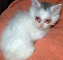 Если у шотландского котенка слезятся глаза что делать