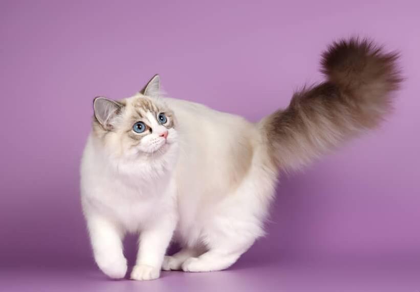 Кошка рэгдолл – черты характера и отличительные особенности животного