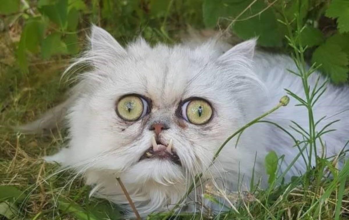 Примеры самых уродливых пород кошек: с некрасивой мордой и страшными глазами