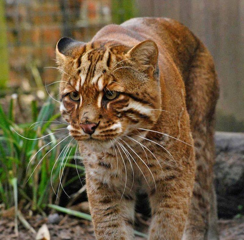 Описание дикого лесного кота с фото: особенности, образ жизни и среда обитания животного
