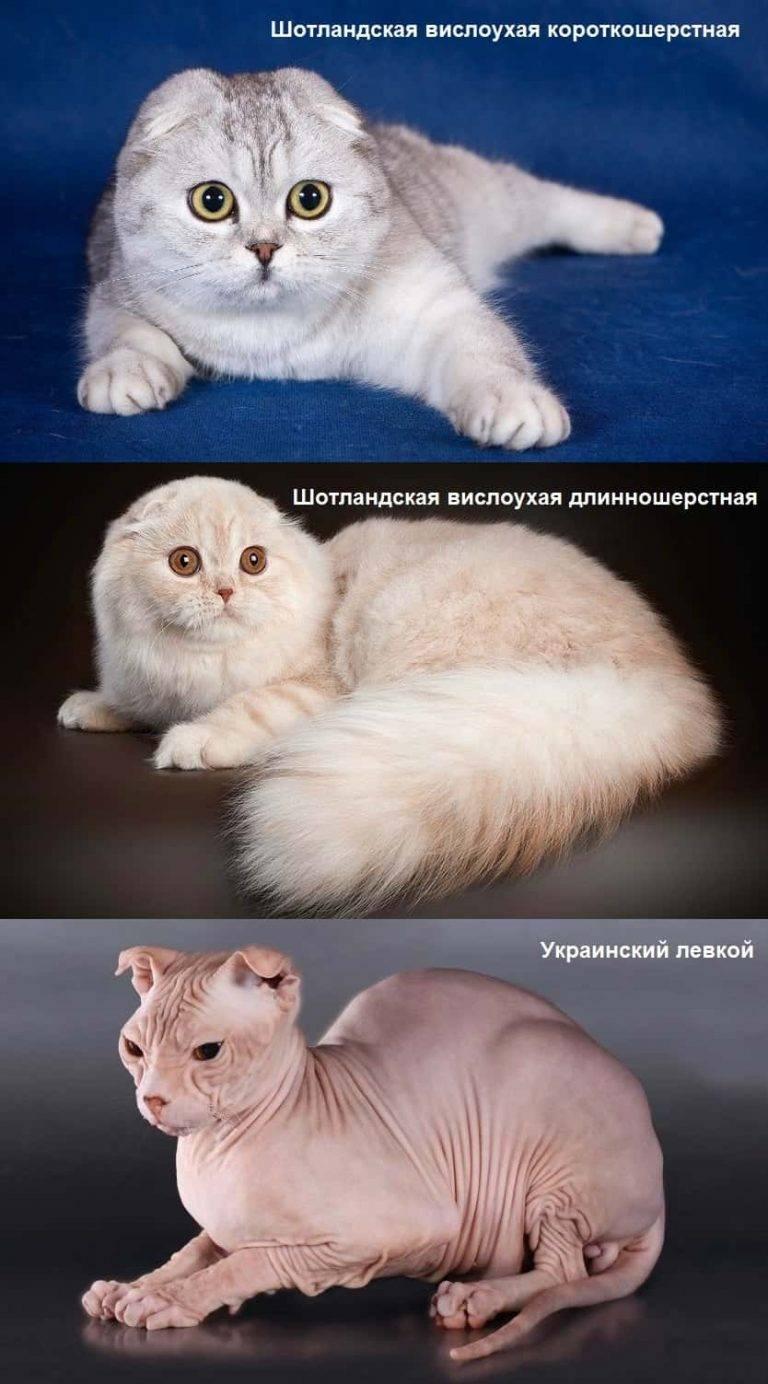 Самая маленькая порода кошек в мире, топ-10 карликовых мини котов мелкого размера, которые не растут