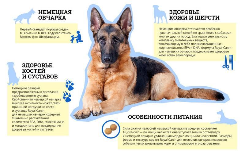 Порода собак пуми: особенности венгерских овчарок, содержание активных и жизнерадостных щенков, дрессировка животных