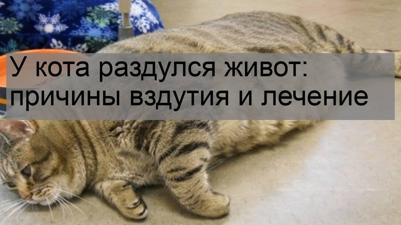 Раздутый мягкий больной живот у кошки. большой живот у котенка: причины и лечение. заболевания внутренних органов