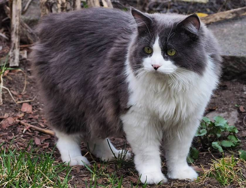 Кимрик - фото и описание породы кошек (характер, уход и кормление)