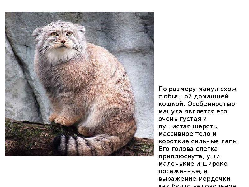 Фото и описание разновидностей диких кошек, больших и мелких, их жизнь в природе