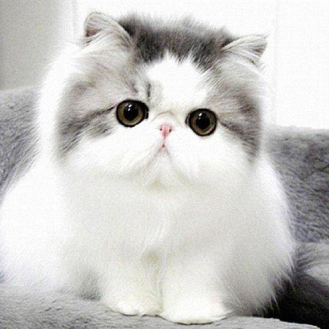 Породы кошек с приплюснутой мордой: фото и факты | сайт «мурло»