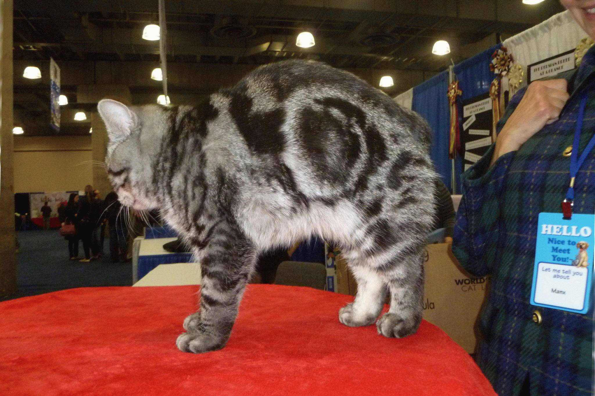 Кошки породы метис: описание видов и характеров