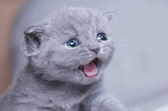Породные стандарты британской кошки