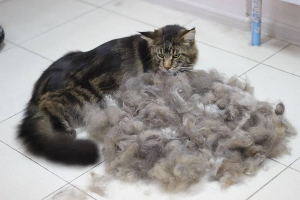 Течка у кошек: сколько длится и как часто бывает, когда начинается в первый раз?