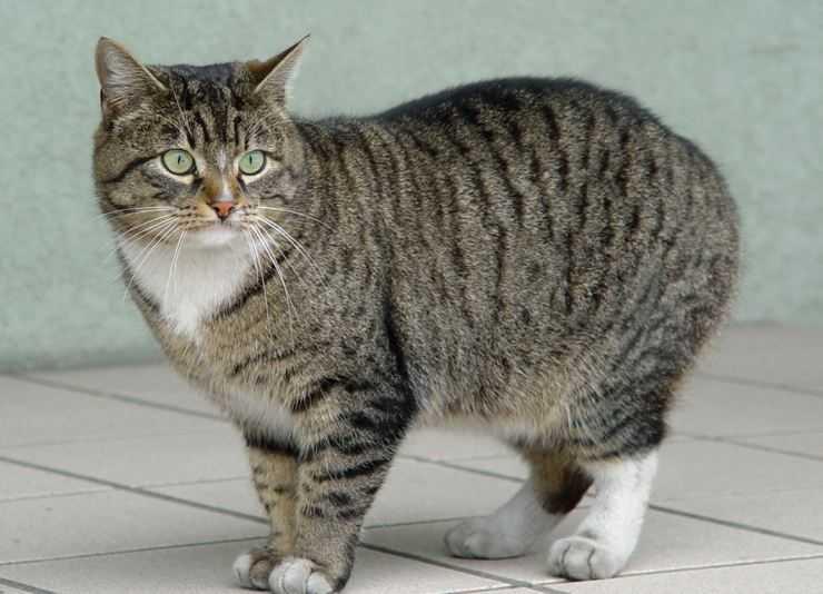 Мэнская кошка – бесхвостая уроженка острова мэн