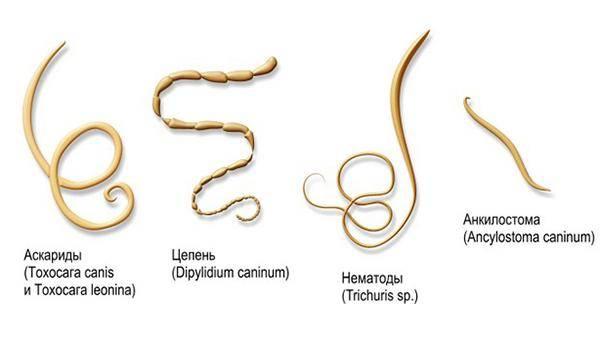 Аскариды у детей:симптомы аскаридоза и лечение